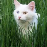 Ванские кошки